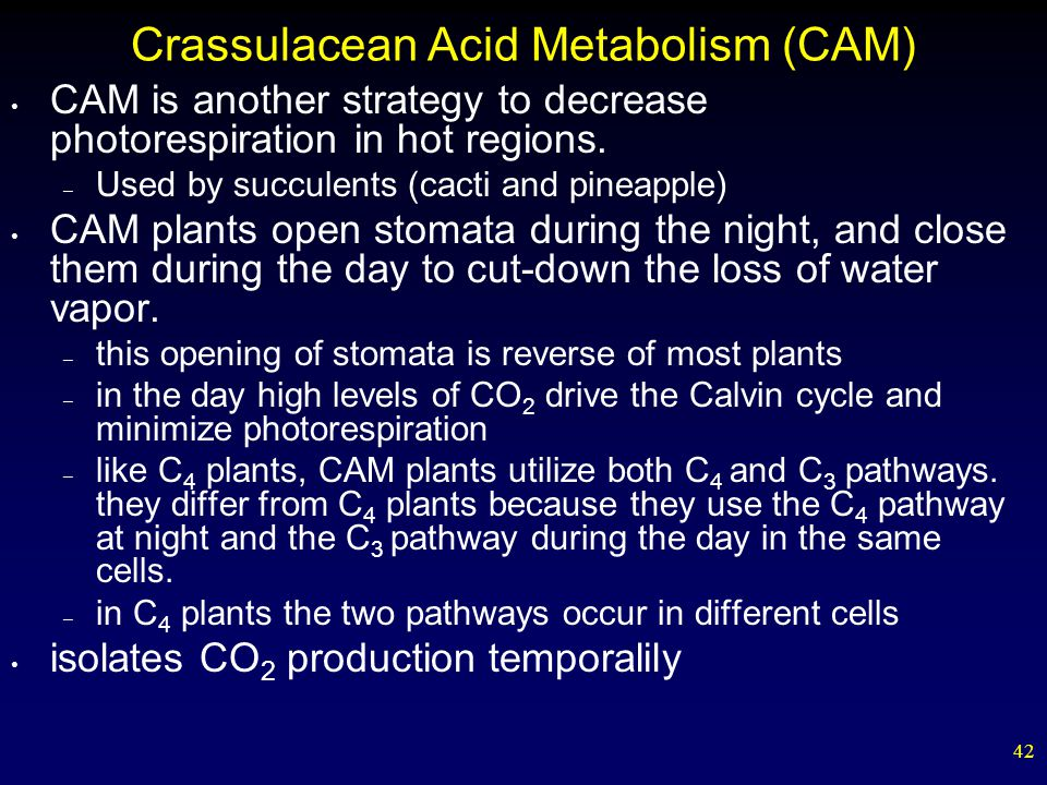 42 Crassulacean Acid Metabolism (CAM) CAM is another strategy to decrease photorespiration in hot regions.