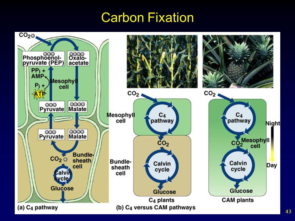 43 Carbon Fixation