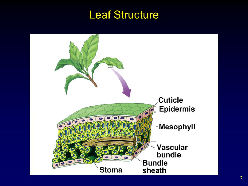 7 Leaf Structure