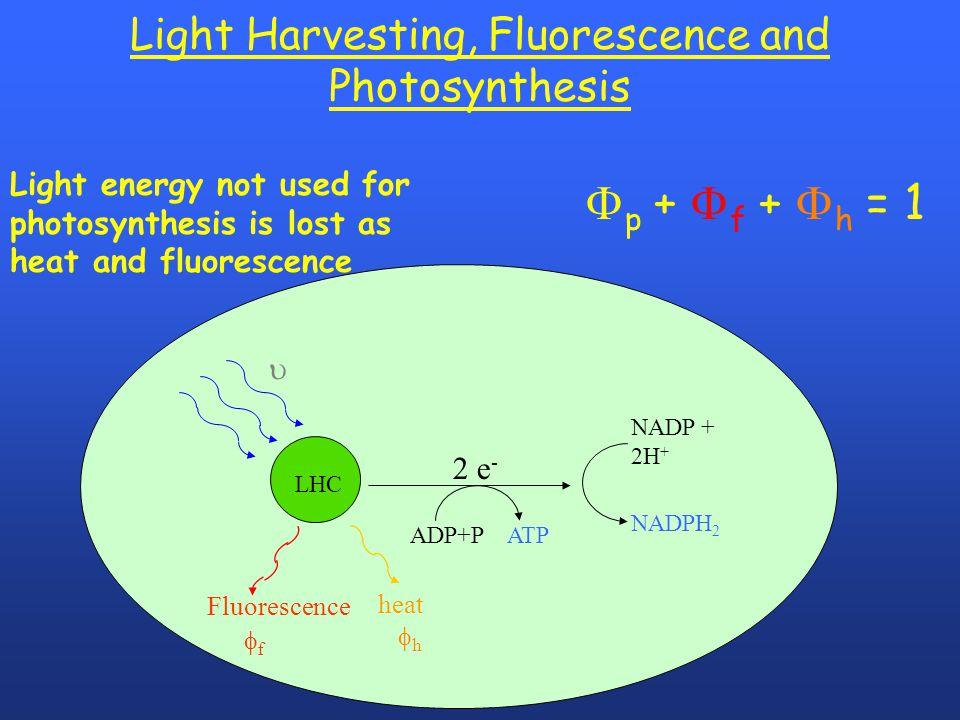 Light Harvesting, Fluorescence and Photosynthesis LHC 2 e -  Fluorescence  f heat  h ADP+P ATP NADP + 2H + NADPH 2  p +  f +  h = 1 Ligh