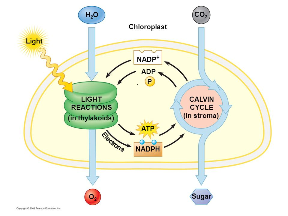 H2OH2O ADP P LIGHT REACTIONS (in thylakoids) Light Chloroplast NADPH ATP O2O2 CALVIN CYCLE (in stroma) Sugar CO 2  NADP +