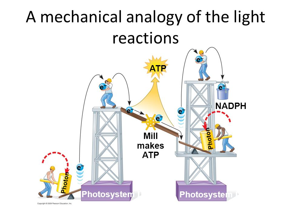 A mechanical analogy of the light reactions NADPH Photosystem II e–e– Mill makes ATP Photon Photosystem I ATP e–e– e–e– e–e– e–e– e–e– e–e– Photon