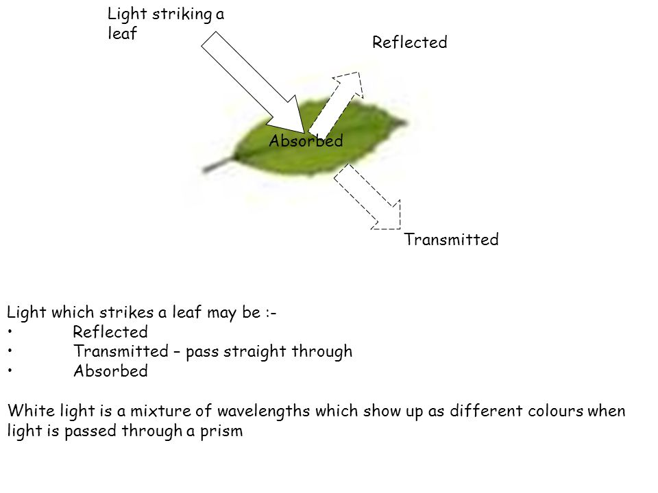 Light which strikes a leaf may be :- Reflected Transmitted – pass straight through Absorbed White light is a mixture of wavelengths which show up as different colours when light is passed through a prism Reflected Transmitted Absorbed Light striking a leaf