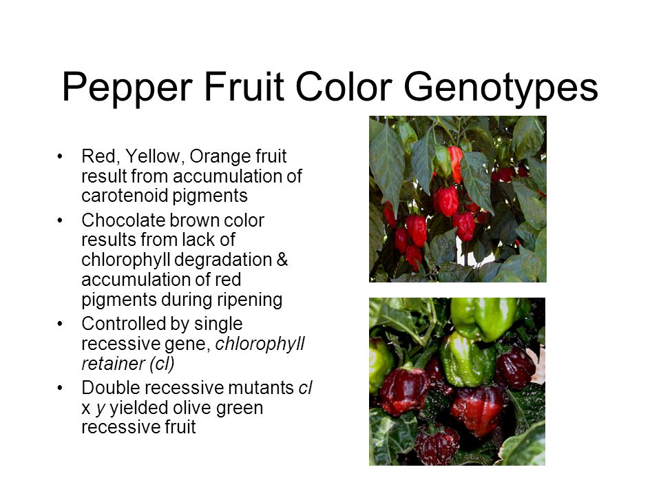 Pepper Fruit Color Genotypes Red, Yellow, Orange fruit result from accumulation of carotenoid pigments Chocolate brown color results from lack of chlo