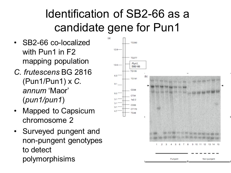 Identification of SB2-66 as a candidate gene for Pun1 SB2-66 co-localized with Pun1 in F2 mapping population C. frutescens BG 2816 (Pun1/Pun1) x C. an