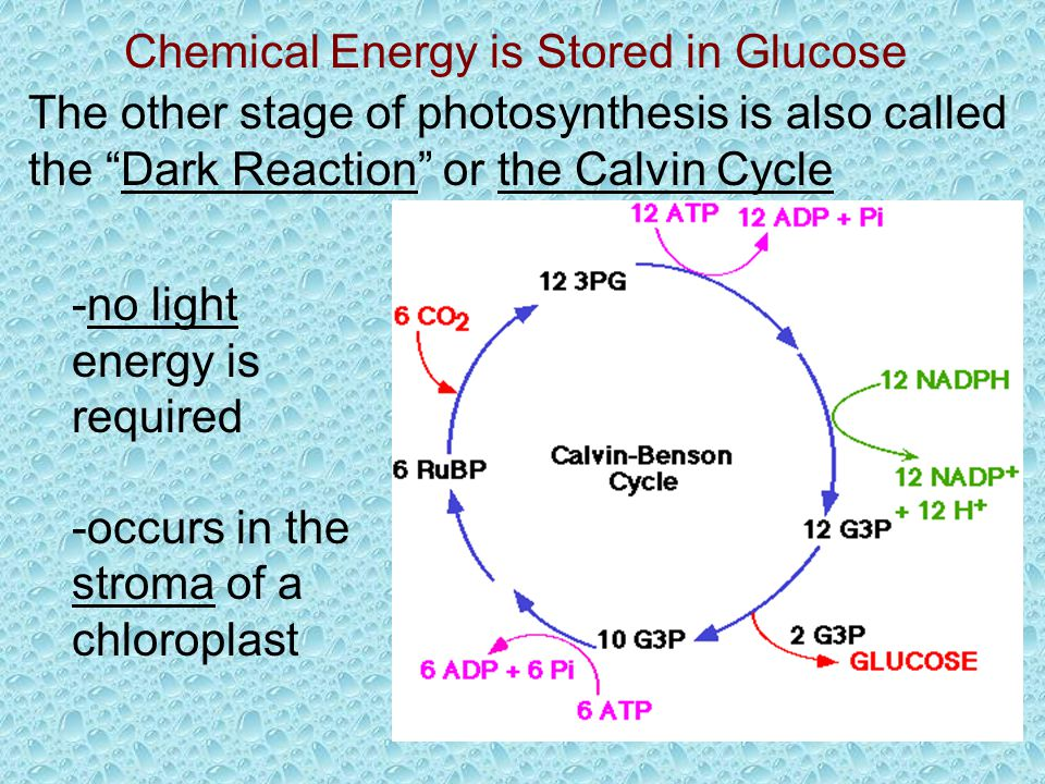 Chemical Energy is Stored in Glucose The other stage of photosynthesis is also called the Dark Reaction or the Calvin Cycle -no light energy is required -occurs in the stroma of a chloroplast