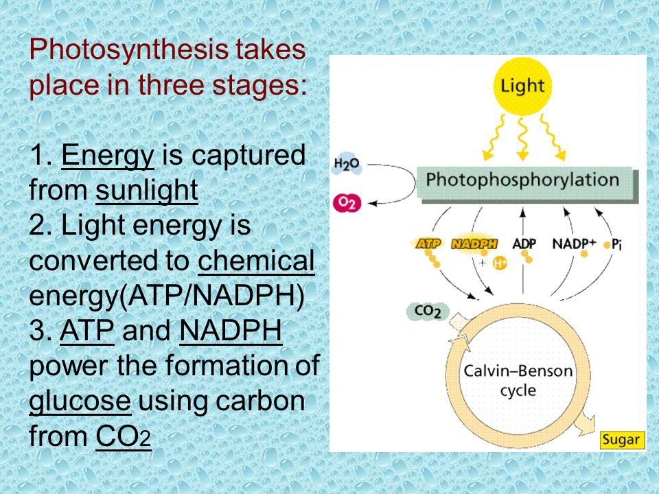 Photosynthesis takes place in three stages: 1.Energy is captured from sunlight 2.