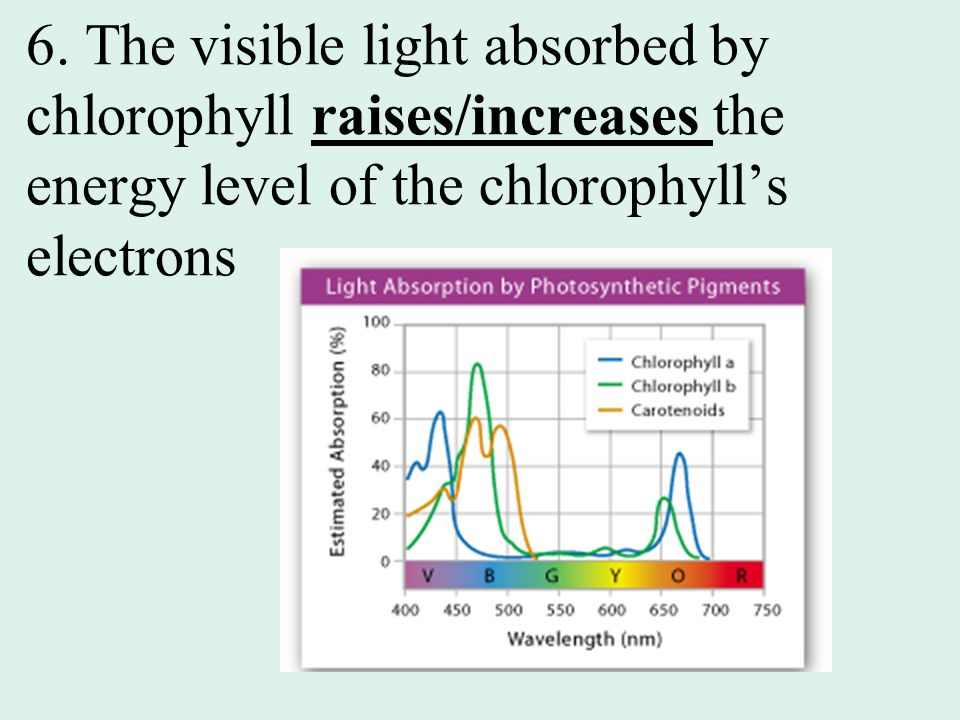 6. The visible light absorbed by chlorophyll raises/increases the energy level of the chlorophyll's electrons