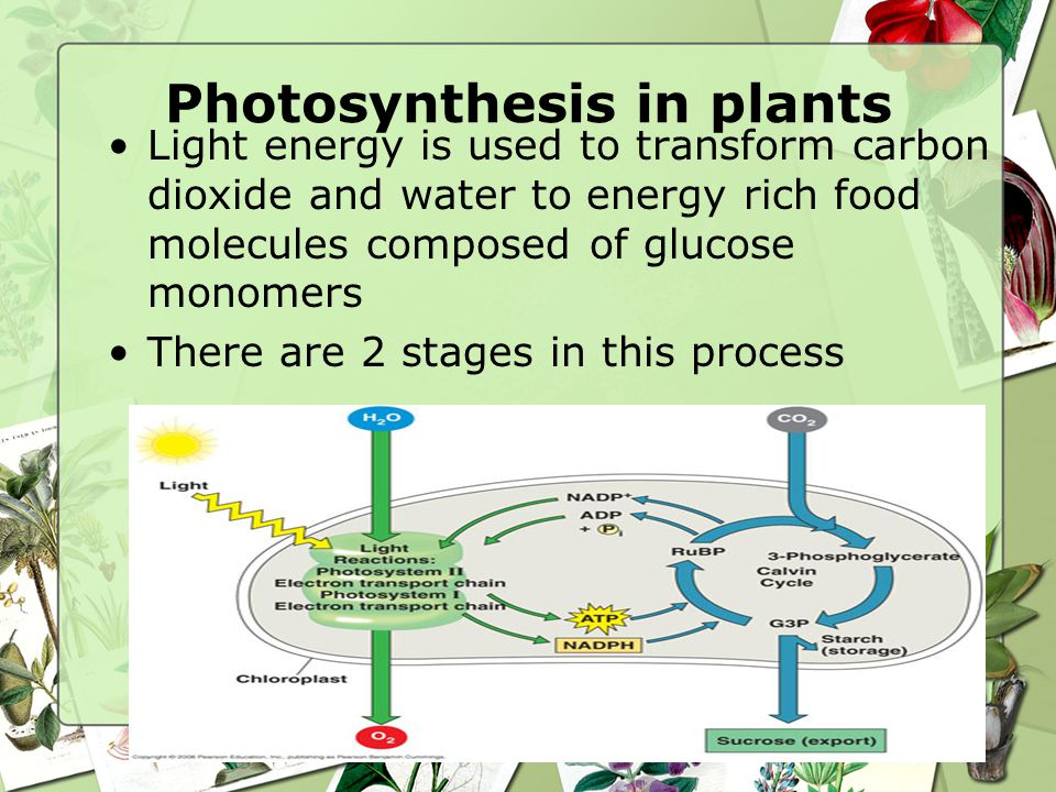 Noncyclic Electron Transport and Chemiosmosis Photon excites 2 electrons of chlorophyll P680 Through series of redox reactions, electron transferred to PQ and then to ETC Z protein splits water and replaces missing electrons in P680 Electrons flow down an ETC to P700 providing energy to make ATP  since light is required for the establishment of proton gradient, this process is called photophosphorylation Excited electrons are stored as high energy-electrons in NADPH http://vcell.ndsu.edu/animations/ photosynthesis/movie.htm http://vcell.ndsu.edu/animation s/photosystemII/movie.htm