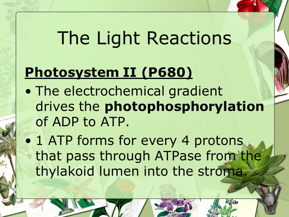 The Light Reactions Photosystem II (P680) The electrochemical gradient drives the photophosphorylation of ADP to ATP.