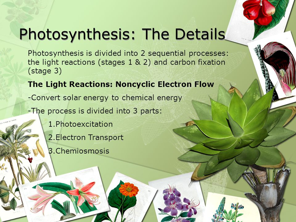 Photosynthesis: The Details Photosynthesis is divided into 2 sequential processes: the light reactions (stages 1 & 2) and carbon fixation (stage 3) The Light Reactions: Noncyclic Electron Flow -Convert solar energy to chemical energy -The process is divided into 3 parts: 1.Photoexcitation 2.Electron Transport 3.Chemiosmosis