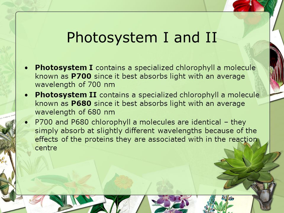 Photosystem I and II Photosystem I contains a specialized chlorophyll a molecule known as P700 since it best absorbs light with an average wavelength of 700 nm Photosystem II contains a specialized chlorophyll a molecule known as P680 since it best absorbs light with an average wavelength of 680 nm P700 and P680 chlorophyll a molecules are identical – they simply absorb at slightly different wavelengths because of the effects of the proteins they are associated with in the reaction centre