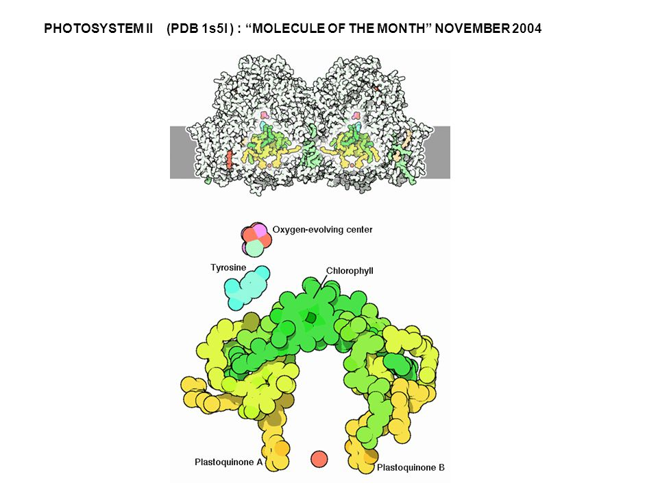 "PHOTOSYSTEM II (PDB 1s5I ) : ""MOLECULE OF THE MONTH"" NOVEMBER 2004"