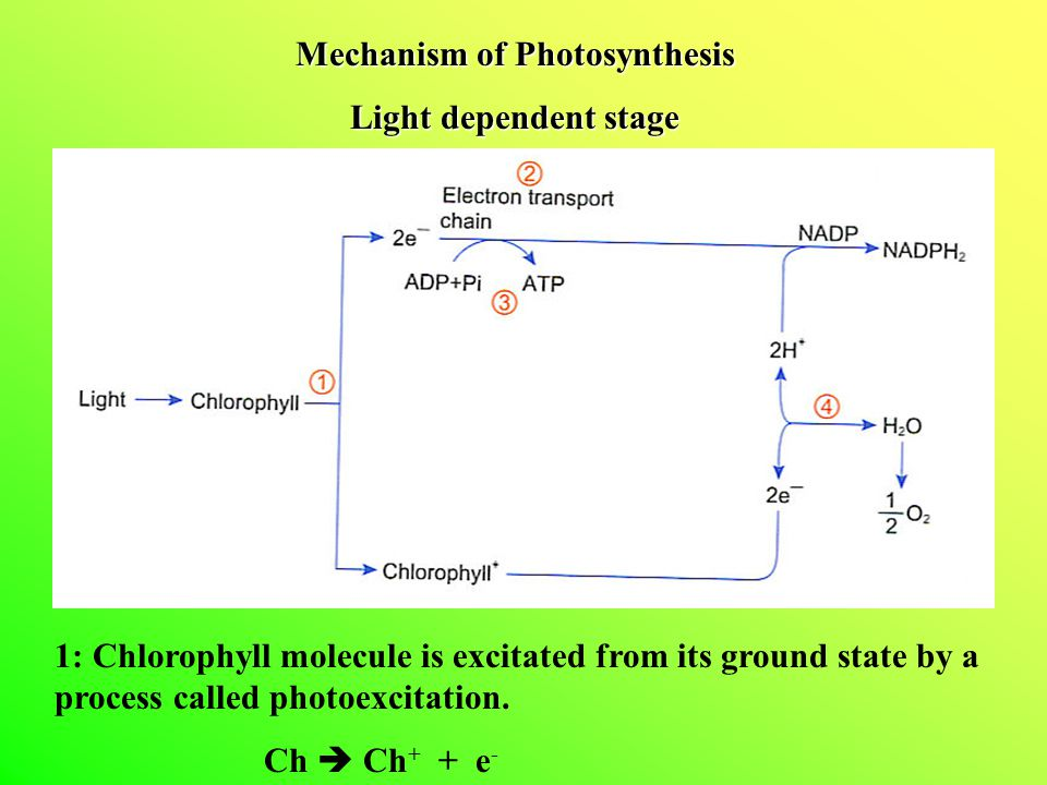 Mechanism of Photosynthesis Light dependent stage 1: Chlorophyll molecule is excitated from its ground state by a process called photoexcitation. Ch 