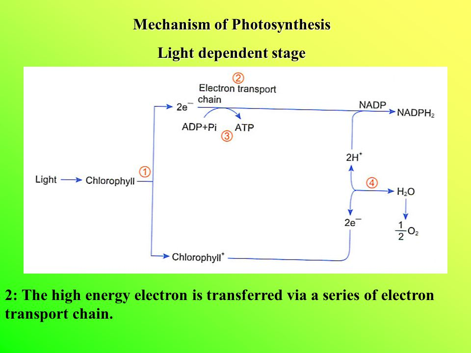 Mechanism of Photosynthesis Light dependent stage 2: The high energy electron is transferred via a series of electron transport chain.