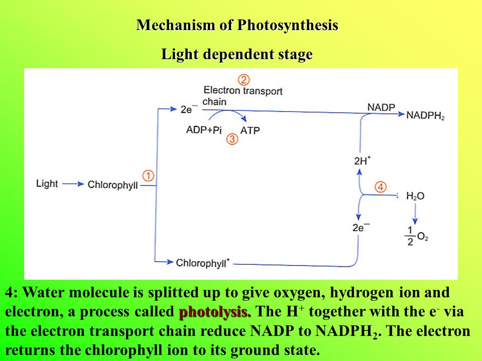 Mechanism of Photosynthesis Light dependent stage photolysis.