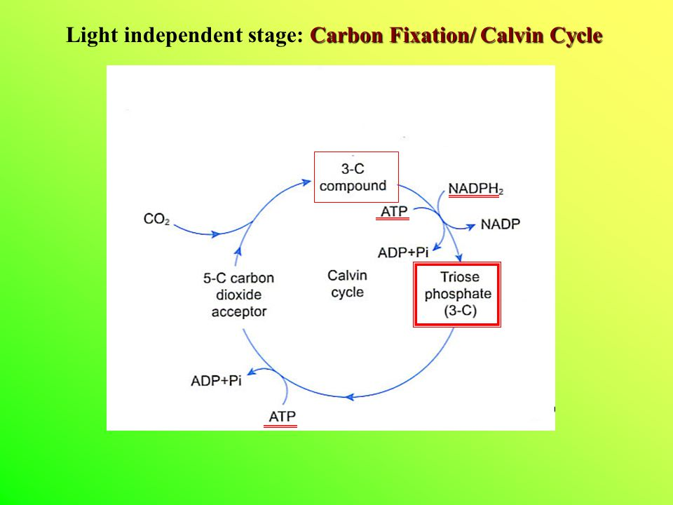 Carbon Fixation/ Calvin Cycle Light independent stage: Carbon Fixation/ Calvin Cycle
