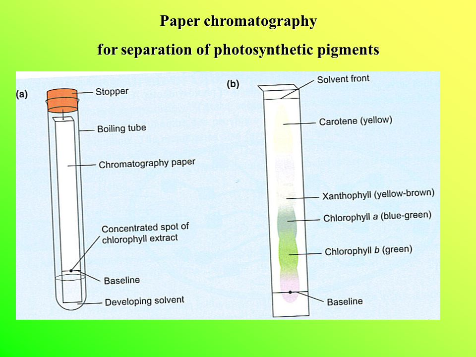 Paper chromatography for separation of photosynthetic pigments