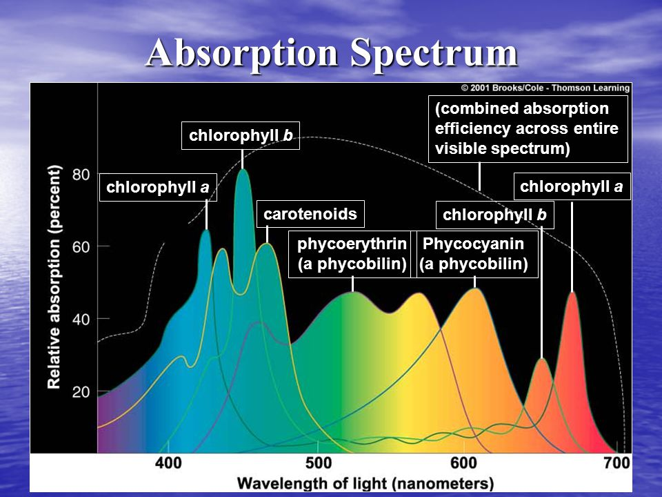 Absorption Spectrum chlorophyll b chlorophyll a carotenoids phycoerythrin (a phycobilin) (combined absorption efficiency across entire visible spectrum) chlorophyll a chlorophyll b Phycocyanin (a phycobilin)
