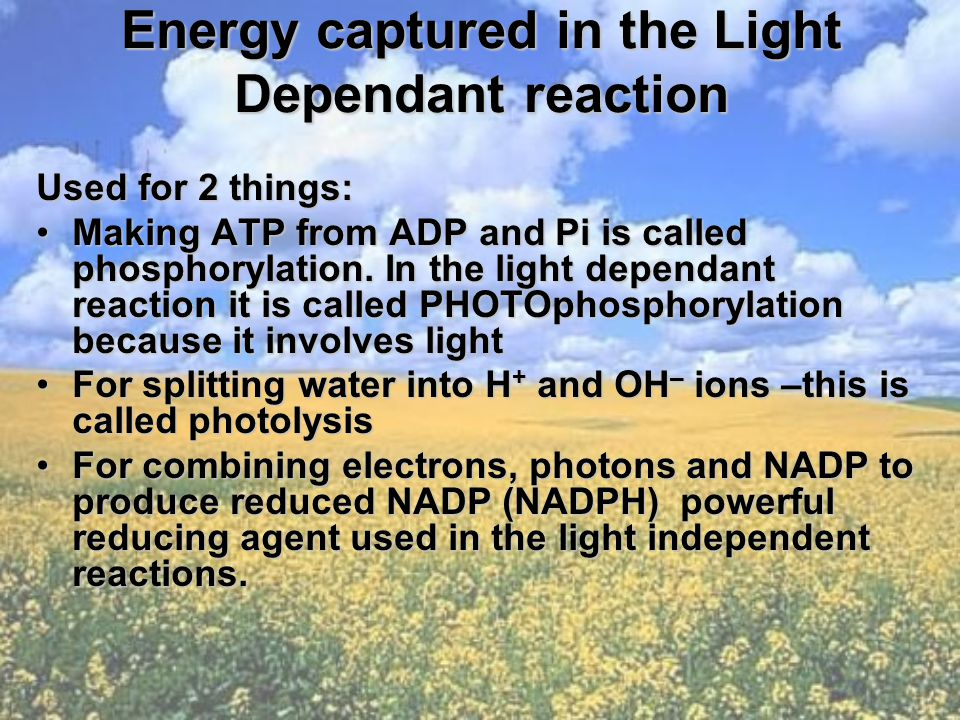 Energy captured in the Light Dependant reaction Used for 2 things: Making ATP from ADP and Pi is called phosphorylation.