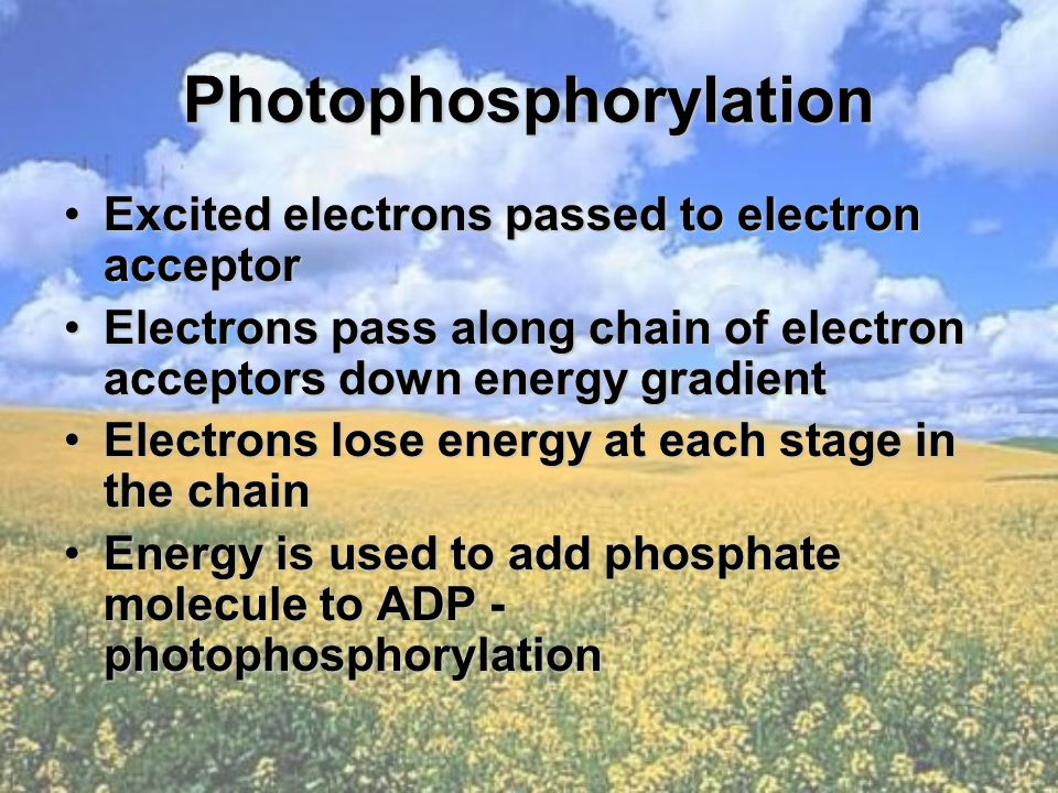 Photophosphorylation Excited electrons passed to electron acceptorExcited electrons passed to electron acceptor Electrons pass along chain of electron