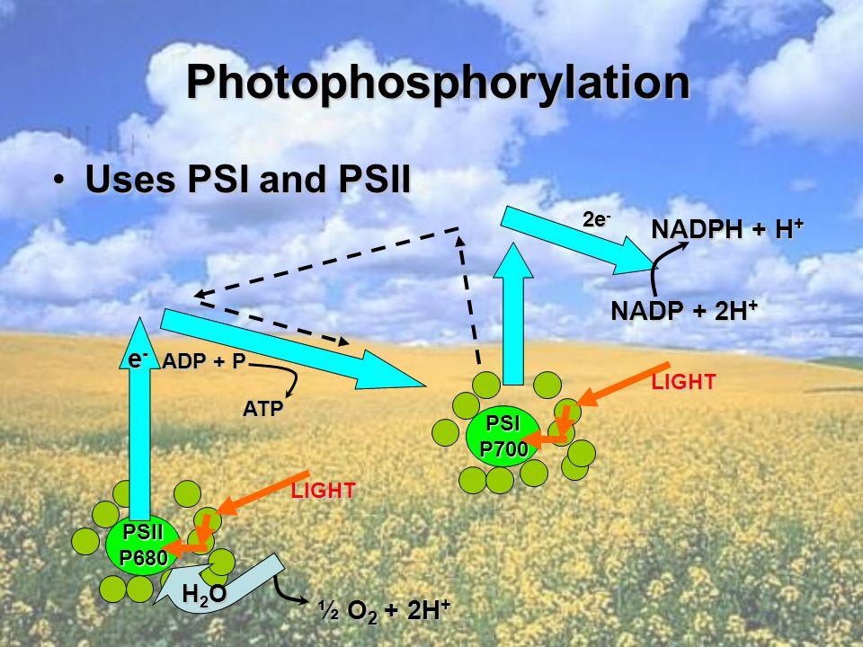 Photophosphorylation Photophosphorylation Uses PSI and PSIIUses PSI and PSII PSIIP680 LIGHT e-e-e-e- ADP + P ATP PSIP700 LIGHT 2e - H2OH2OH2OH2O ½ O 2 + 2H + NADP + 2H + NADPH + H +