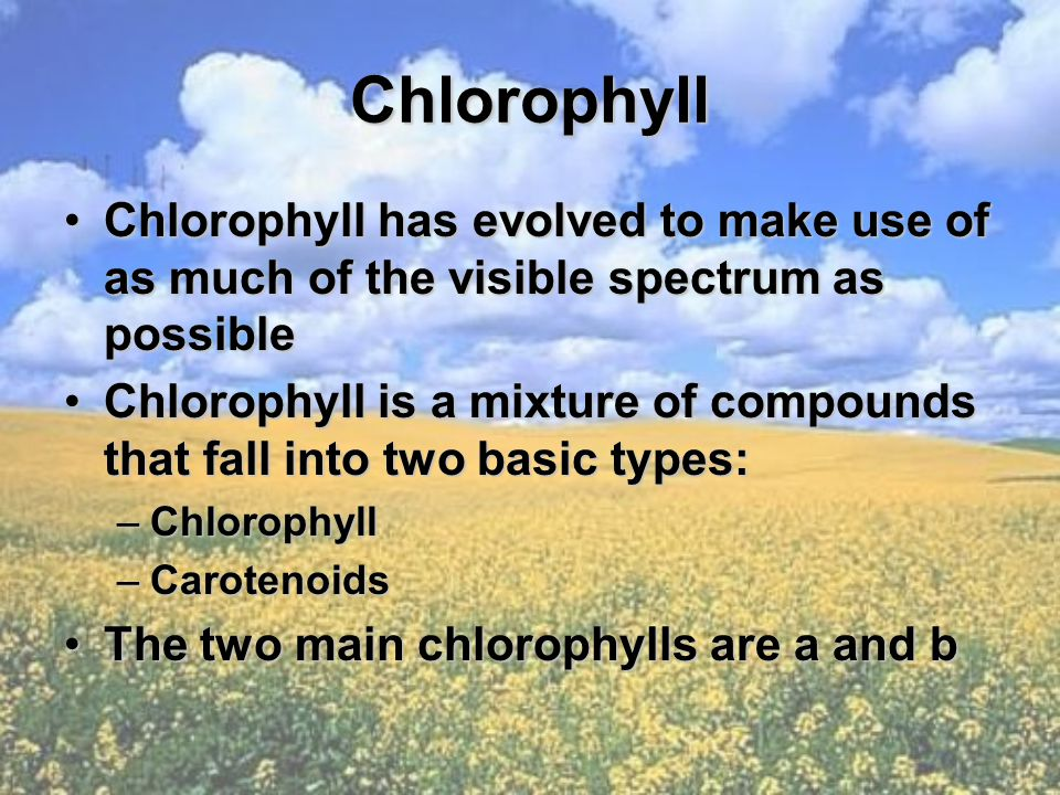 Chlorophyll Chlorophyll has evolved to make use of as much of the visible spectrum as possibleChlorophyll has evolved to make use of as much of the vi