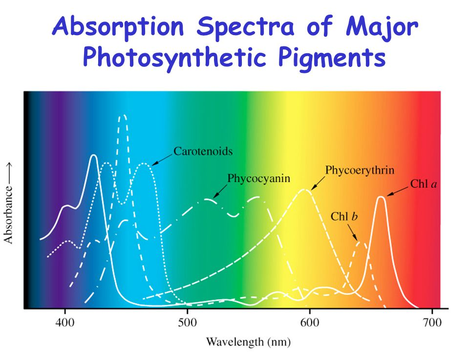 Absorption Spectra of Major Photosynthetic Pigments