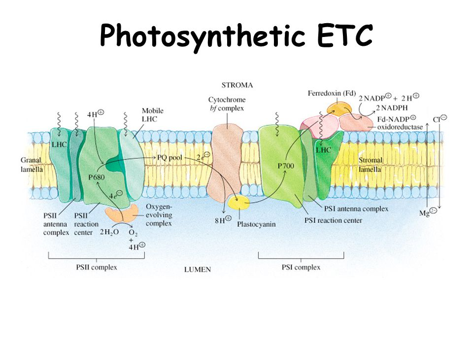 Photosynthetic ETC