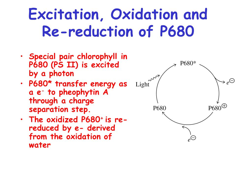 Excitation, Oxidation and Re-reduction of P680 Special pair chlorophyll in P680 (PS II) is excited by a photon P680* transfer energy as a e - to pheophytin A through a charge separation step.