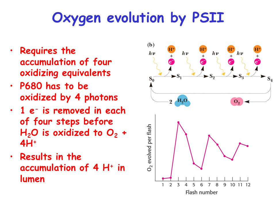Oxygen evolution by PSII Requires the accumulation of four oxidizing equivalents P680 has to be oxidized by 4 photons 1 e - is removed in each of four steps before H 2 O is oxidized to O 2 + 4H + Results in the accumulation of 4 H + in lumen
