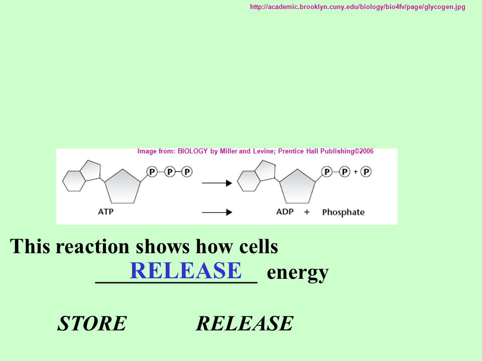 This reaction shows how cells _______________ energy STORE RELEASE RELEASE Image from: BIOLOGY by Miller and Levine; Prentice Hall Publishing©2006 htt