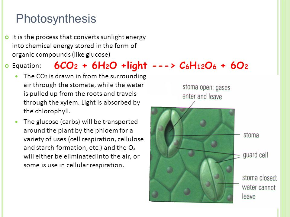 Photosynthesis It is the process that converts sunlight energy into chemical energy stored in the form of organic compounds (like glucose) Equation: The CO 2 is drawn in from the surrounding air through the stomata, while the water is pulled up from the roots and travels through the xylem.