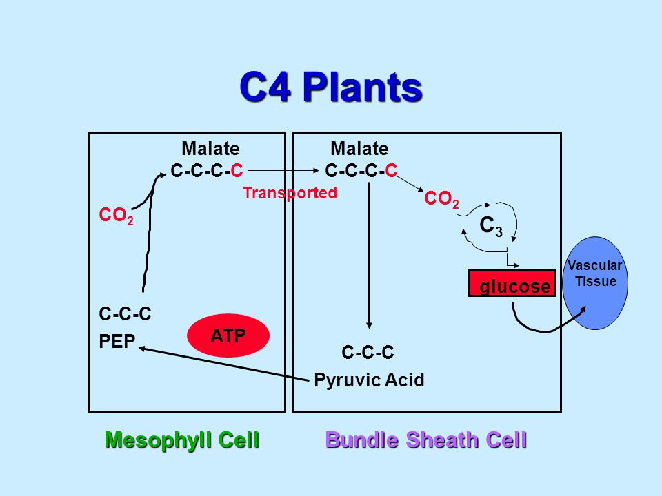C4 Plants Mesophyll Cell CO 2 C-C-C PEP C-C-C-C Malate ATP Bundle Sheath Cell C-C-C Pyruvic Acid C-C-C-C CO 2 C3C3 Malate Transported glucose Vascular Tissue