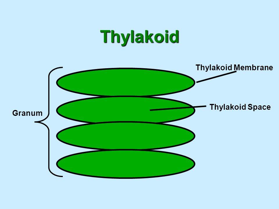 Thylakoid Thylakoid Membrane Thylakoid Space Granum