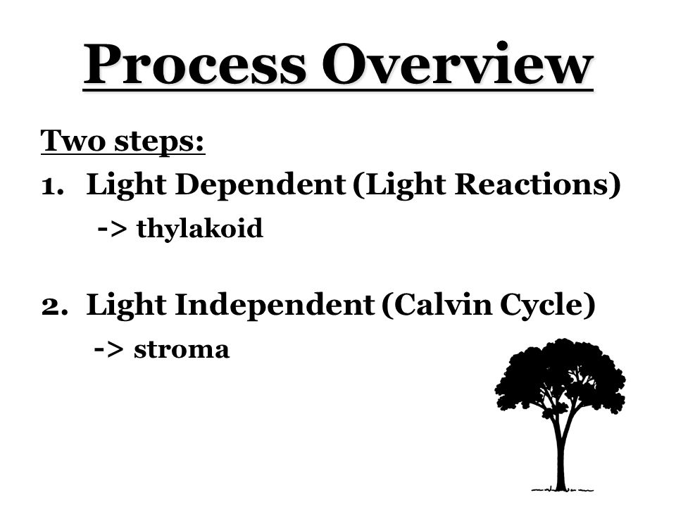 Process Overview Two steps: 1.Light Dependent (Light Reactions) -> thylakoid 2.Light Independent (Calvin Cycle) -> stroma