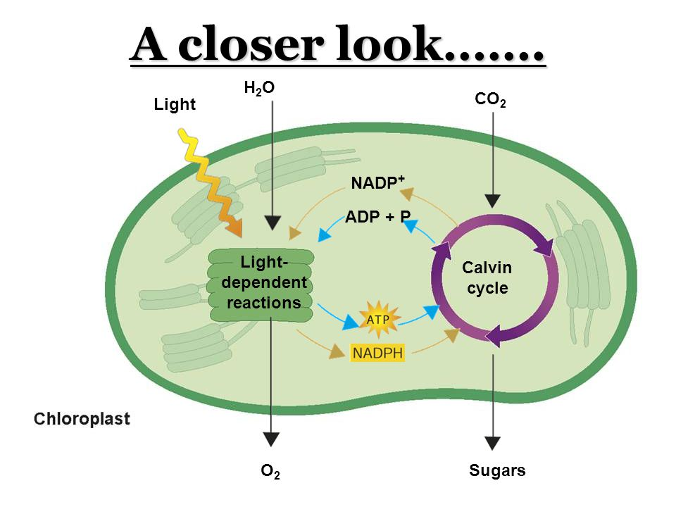 A closer look……. Calvin cycle Light- dependent reactions NADP + ADP + P Light H2OH2O O2O2 CO 2 Sugars