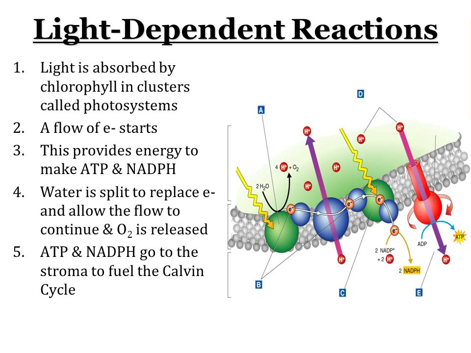 Light-Dependent Reactions 1.Light is absorbed by chlorophyll in clusters called photosystems 2.A flow of e- starts 3.This provides energy to make ATP & NADPH 4.Water is split to replace e- and allow the flow to continue & O 2 is released 5.ATP & NADPH go to the stroma to fuel the Calvin Cycle