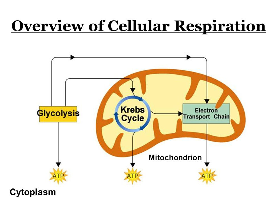 Overview of Cellular Respiration Cytoplasm Mitochondrion