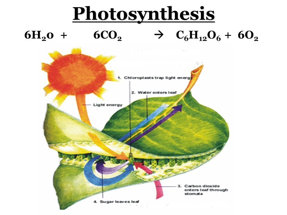Photosynthesis 6H 2 0 + 6CO 2  C 6 H 12 O 6 + 6O 2