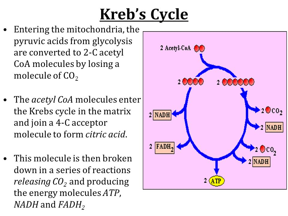 Kreb's Cycle Entering the mitochondria, the pyruvic acids from glycolysis are converted to 2-C acetyl CoA molecules by losing a molecule of CO 2 The acetyl CoA molecules enter the Krebs cycle in the matrix and join a 4-C acceptor molecule to form citric acid.