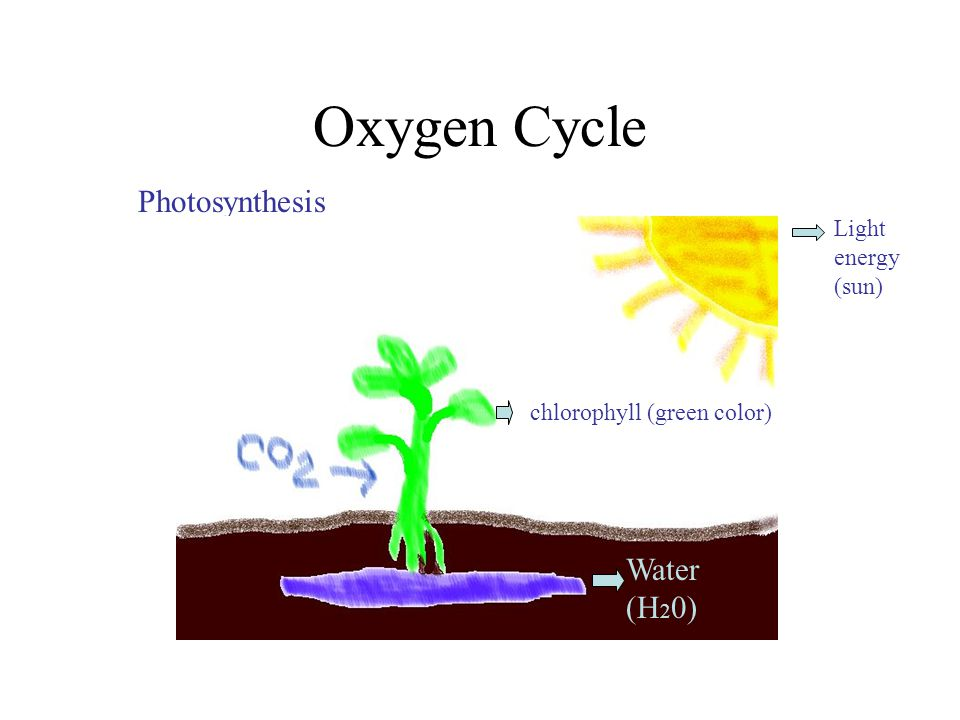 Oxygen Cycle Photosynthesis chlorophyll (green color) Light energy (sun) Water (H 2 0) chlorophyll (green color)
