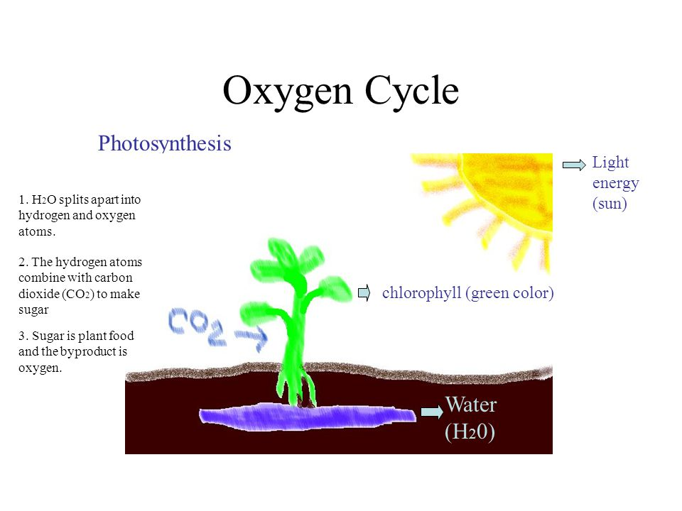 Oxygen Cycle Photosynthesis chlorophyll (green color) Light energy (sun) Water (H 2 0) chlorophyll (green color) 1. H 2 O splits apart into hydrogen a