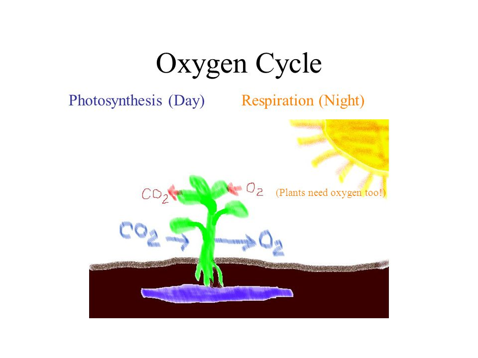 Oxygen Cycle Photosynthesis (Day) Respiration (Night) chlorophyll (green color) Water (H 2 0) chlorophyll (green color) Water (H 2 0) (Plants need oxy