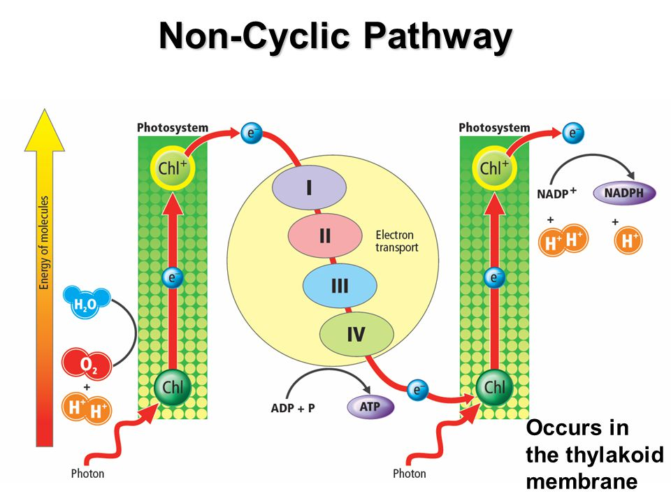 Non-Cyclic Pathway Occurs in the thylakoid membrane