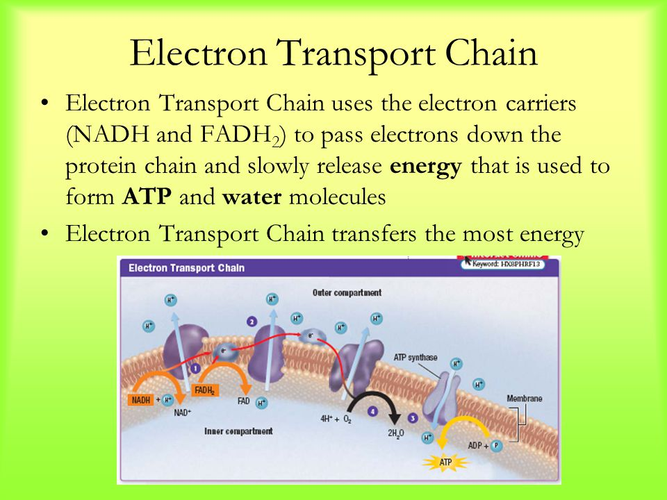 Electron Transport Chain Electron Transport Chain uses the electron carriers (NADH and FADH 2 ) to pass electrons down the protein chain and slowly re