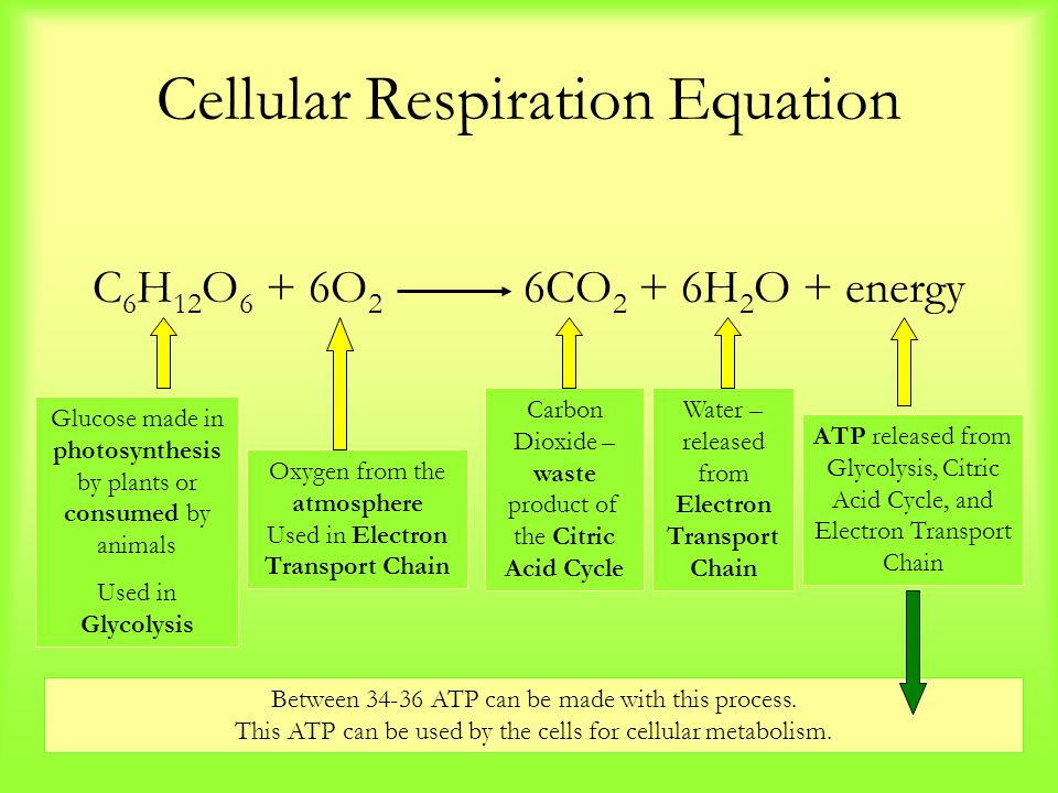 Cellular Respiration Equation C 6 H 12 O 6 + 6O 2 6CO 2 + 6H 2 O + energy Water – released from Electron Transport Chain Oxygen from the atmosphere Us