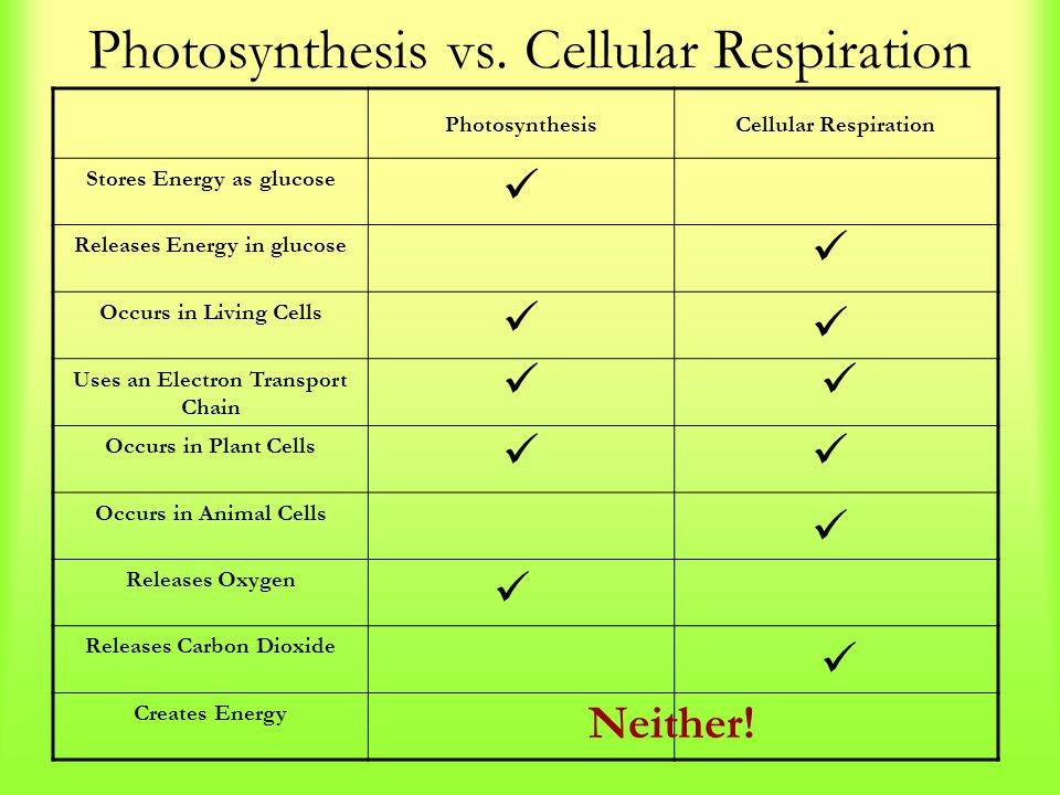 Photosynthesis vs. Cellular Respiration PhotosynthesisCellular Respiration Stores Energy as glucose Releases Energy in glucose Occurs in Living Cells
