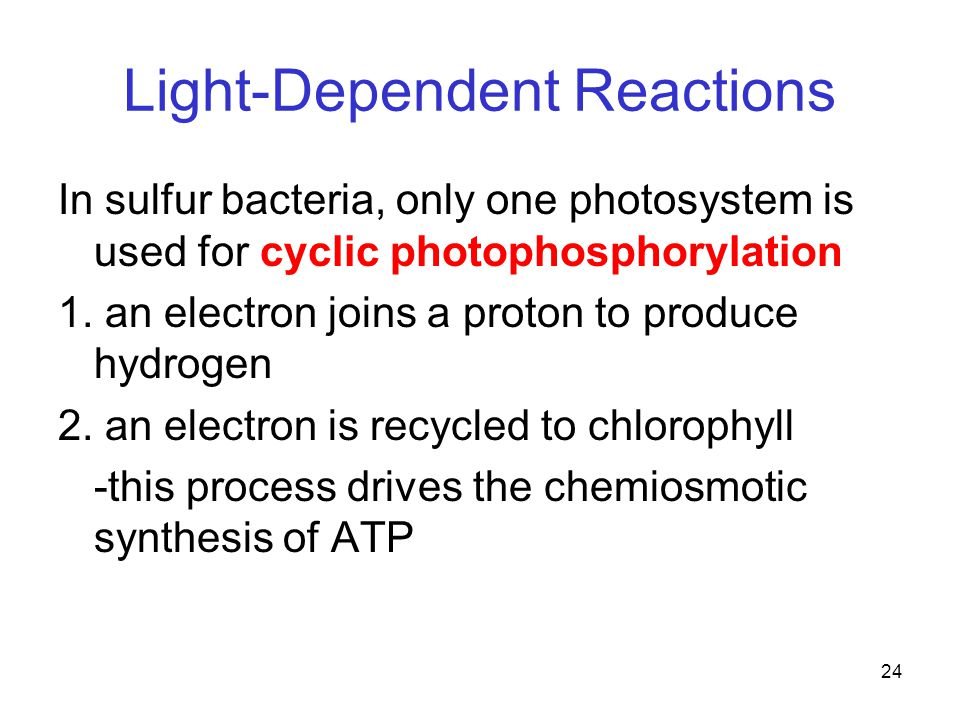 24 Light-Dependent Reactions In sulfur bacteria, only one photosystem is used for cyclic photophosphorylation 1.