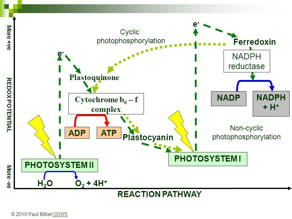 REACTION PATHWAY More +ve REDOX POTENTIAL More -ve NADPH + H + ATPADP e-e- e-e- NADP Ferredoxin NADPH reductase Plastoquinone Plastocyanin Cytochrome b 6 – f complex PHOTOSYSTEM I PHOTOSYSTEM II H 2 O O 2 + 4H + Non-cyclic photophosphorylation Cyclic photophosphorylation © 2010 Paul Billiet ODWSODWS